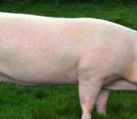 Козы, свинки