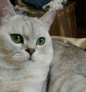 Молодой Британский котик.Вязка.