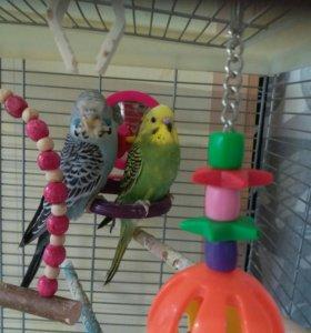 Выставочные волнистые попугаи только из гнезда
