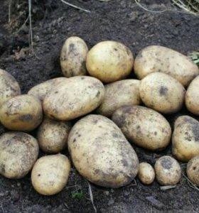 Картофель вкусный с огорода - Доставка - Картошка