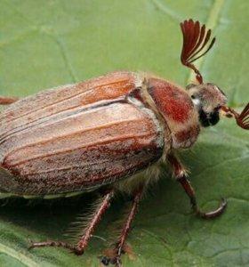 Майские жуки и туркменский таракан  на корм