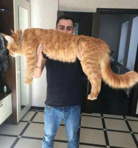 Вязка. кот.
