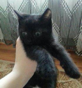 Коты продам красноярск