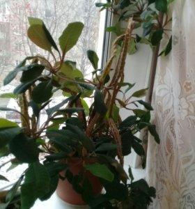 Комнатное растение ( молочай)