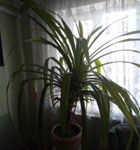 Монстера 15 лет и ещё одно крупное растение