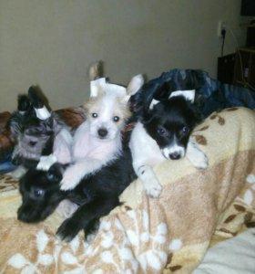 Продам щенков породы китайская хохлатая.