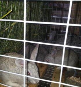 мясо кролика или живой вес