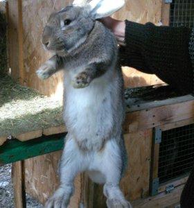 Кролики на племя и на мясо
