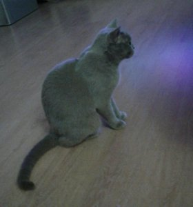 Кошка британка.