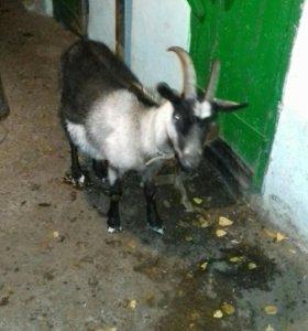 2 козы и 8месячный козлик продается