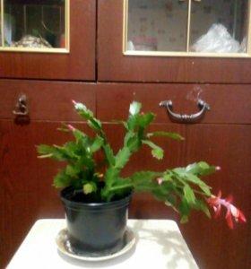 Цветок декабрист алый