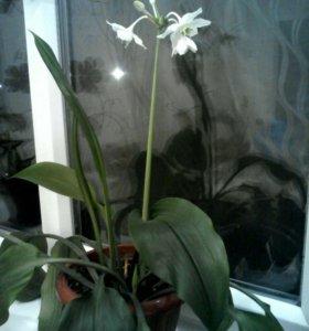 Эухарис (цветок)