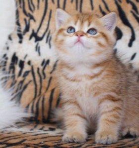 Британский золотой тигрёнок