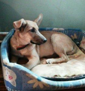Петрочка - домашний чудесный щенок