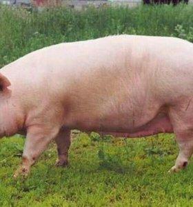 Свежее деревенское мясо свинины