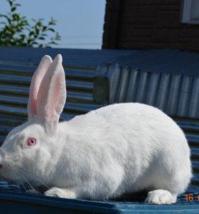 Кролик Белый великан.