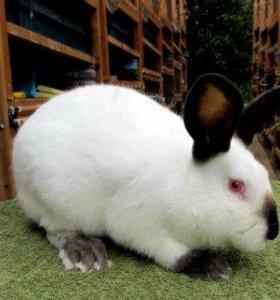 Кролик Калифорнийский.