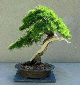 Семена карликовых деревьев