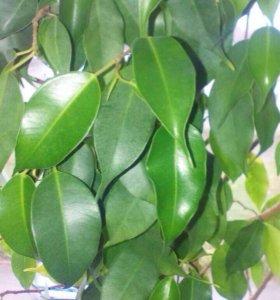 Фикус зелёный укоренившиеся отводки