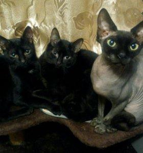 Черные котики