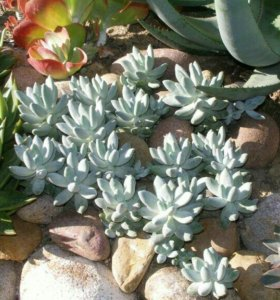 Растения суккуленты пахифитум прицветниковый