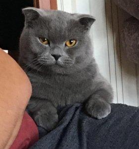 Продам Британский кот 2 год