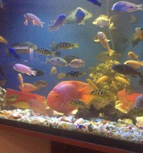 Рыбки Цихлиды разные