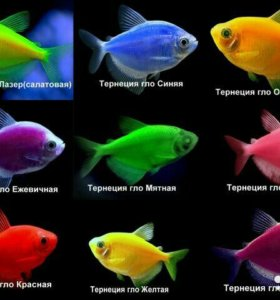 Тернеции, данио глофиш и другие аквариумные рыбки