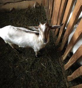 Нужен нубийский козел