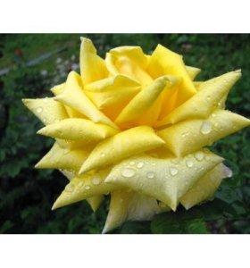 Розы Беролина (Berolina)