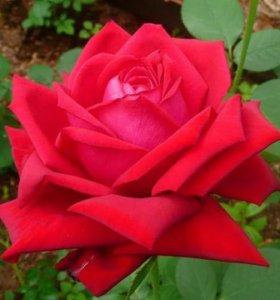 Розы Бургунд (Burgund)