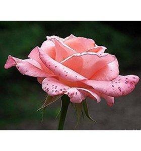 Розы Сильвия (Sylvia)