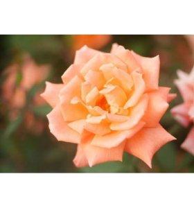 Розы Эмми (Emmy)