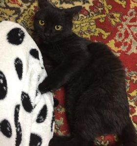 Отдам котят от Шотландской вислоухой кошки.
