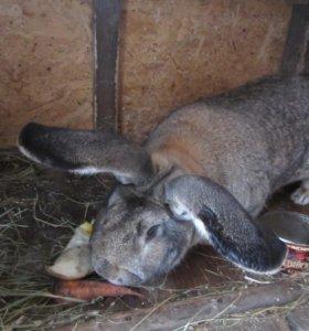 Кролики порода Фландр