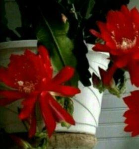 Ампельный Эпифиллум кактус-орхидея