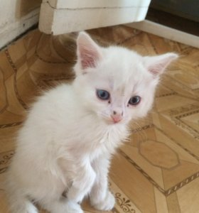 Котёнок мальчик ,1 месяц ,альбинос ,ласковый .