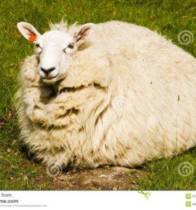 продам овцу и барана