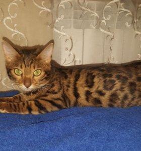 Бенгальские коты иркутск