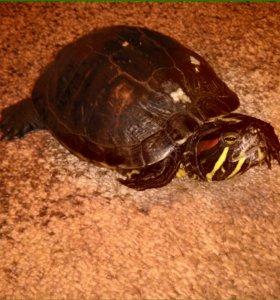 Кнасноухая черепаха отдам
