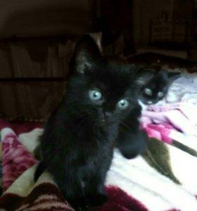 Котёнок от Бомбейской кошки