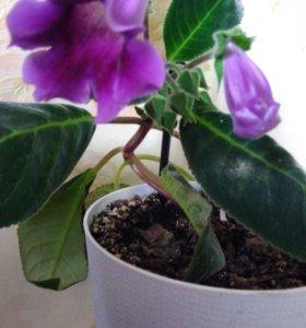 Глоксиния, комнатный цветок