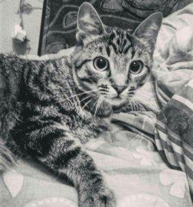 Куплю кота мурманске