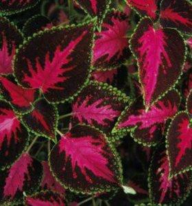 Комнатные цветы колеус