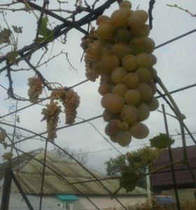 Саженцы белого винограда