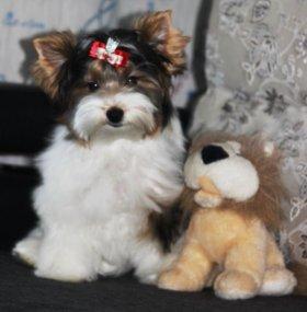 Продаются щенки Бивер йоркширского терьера