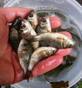 Живец для рыбалки карась верхоплавка