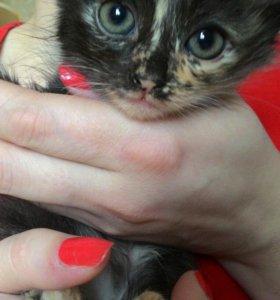 Котята, 2 месяца, дата рождения 06.09