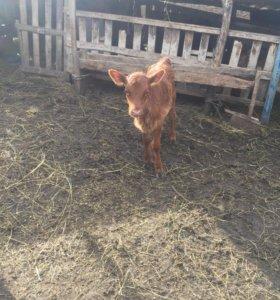 Коровы срочно торг меняю на Авто