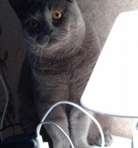 Вязка британского кота.